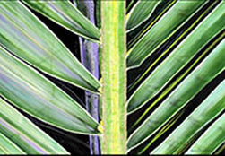 Image 24 - Coconut Frond I